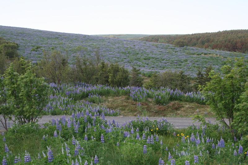 Lúpína í Vatnshlíð