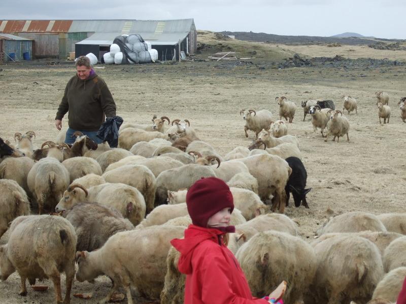 Hermann í Stakkavík og féð